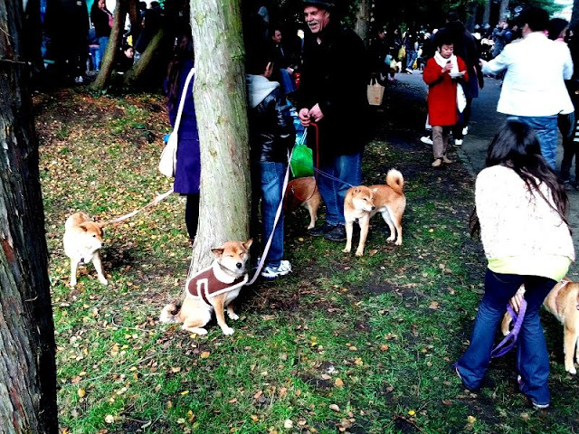 And someone brought FIVE shiba inu